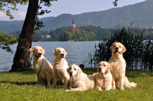 Bled - our goldens